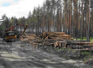 Как раскрывается незаконная рубка деревьев
