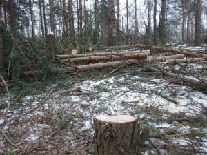Незаконная рубка лесных насаждений